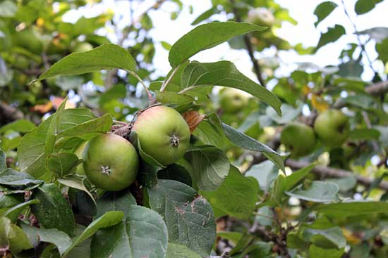 Las manzanas insistieron en venir a nuestras manos.