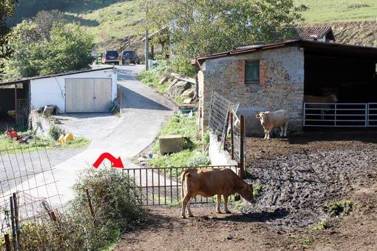 Que no te asusten las vacas. Los cuernos los tienen de adorno.