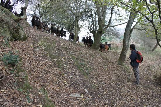 Manifestación de cabras por un convenio digno.